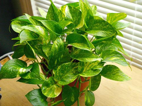Thanh lọc không khí trong nhà với cây xanh(Phần 1)